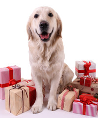 Adorable Labrador sitting with present boxes, isolated on white