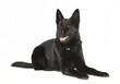 canvas print picture - schwarzer Schaeferhund freigestellt