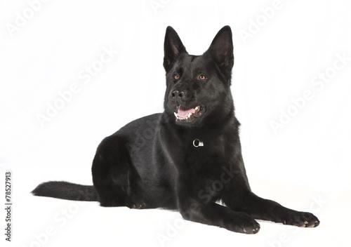 canvas print picture schwarzer Schaeferhund freigestellt