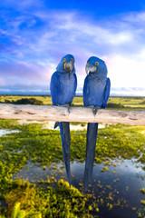 Blue Macaw in Pantanal, Brazil