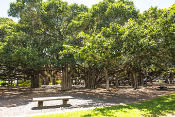 The Banyan Tree in Lahaina, Maui