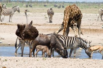 Blue Wildebeest, Ostrich, Zebras, Giraffe and Springbok.