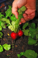 Harvesting radishes © Arena Photo UK