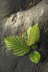 Carpinus betulus, Charme