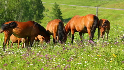 group of horses grazing on summer meadow
