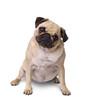 Mops Hund isoliert auf weißem Hintergrund