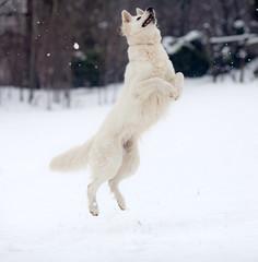 cane pastore svizzero bianco nella neve