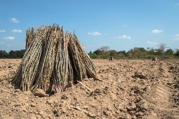 cassasva farm