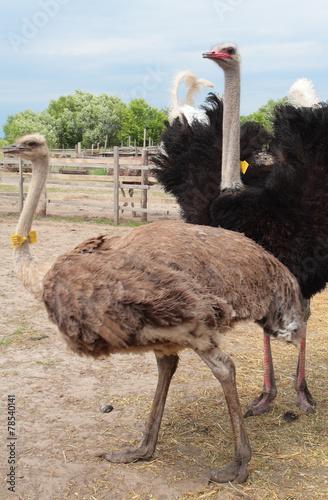 Plexiglas Struisvogel Ostrich