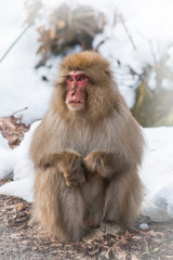 待ち合わせ中のニホンザル The snowy mountains and Japanese monkey