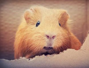 funny guinea pig in a carton