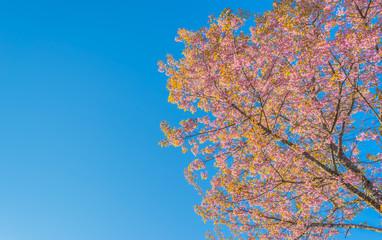 Wild Himalayan Cherry flower(Thailand's sakura),Chiang Mai Thail