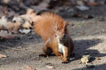 niedliches Eichhörnchen