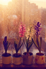 Set of various hyacinth flowers on rustic window-sill