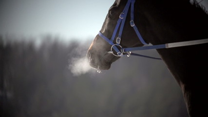 close up of brown racehorse after running breathes in winter