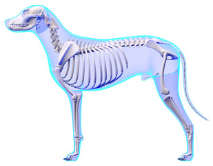 Dog Skeleton Anatomy - Anatomy of a Male Dog Skeleton