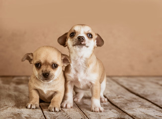 chihuahua puppies on a wooden background