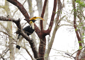 The great Hornbill perched in a tree, Jhirna forest, Jim Corbett
