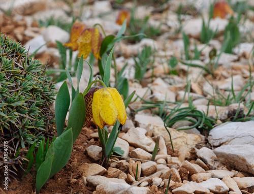 Wild tiger yellow tulip - 78548115
