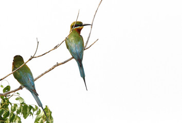 Blue tailed bee eaters sitting on a branch