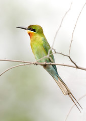 Closeup of blue tailed bee eater