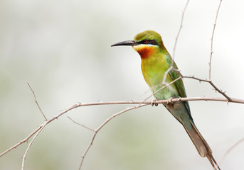 A beautiful Blue tailed bee eater in Jhirna Forest