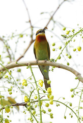 Blue tailed bee eater with yellow flower backdrop