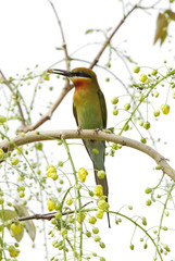 Blue tailed bee eater perched on a tree with a bee