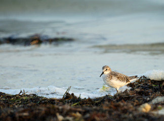 Semipalmated Sandpiper searching food