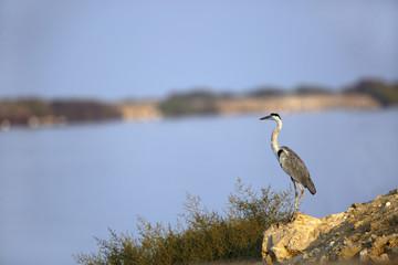 Grey Heron standing on the ocean bank