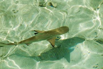 Junger Schwarzspitzenriffhai