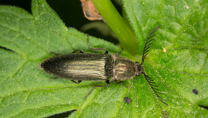 Male Click beetle, Ctenicera pectinicornis
