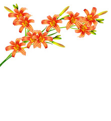 bouquet of lily flowers isolated on white background