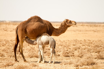 Camel with baby - Tunisia