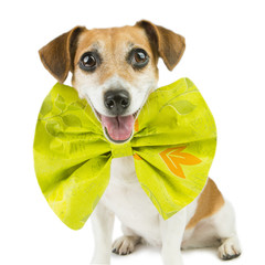Cute happy spruced dog with a huge bright bow
