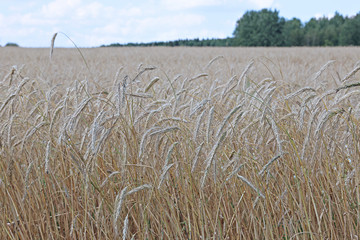 Mature wheat ears