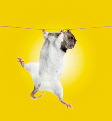 funny little rat on rope