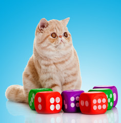 Exotic shorthair cat sitting in front of  blue background