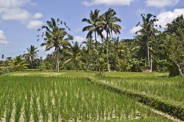 campo di riso, risaia