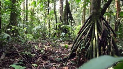 Stilt root palms in the rainforest understory