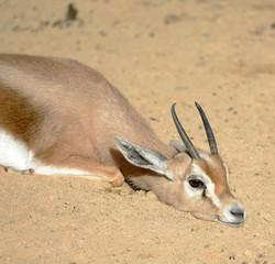 Gazelle resting on sun