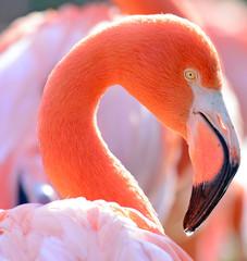 Beautiful Flamingo bird portrait