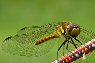 トンボの接写 Close-up of a dragonfly