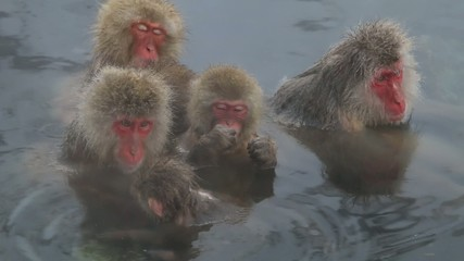 さるの温泉 Snow Monkey Family in Onsen