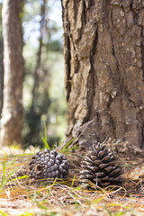 Pine cones on the ground in the forest