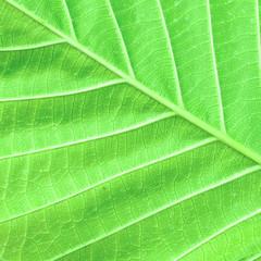 leaf macro pattern of green