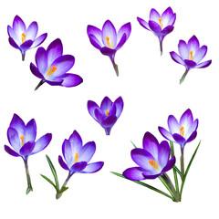 The first snowdrops saffron