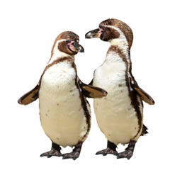 Penguins isolated on white background