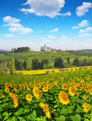 Spring landscape with sunflower field and blue sky