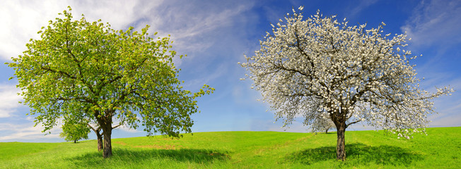 Deciduous and flowering tree in spring landscape